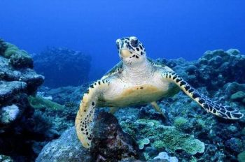 Micronesia Micronesia-Palau-tartarughe-marine