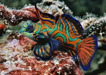 Micronesia Micronesia-i-colore-della-fauna-marina