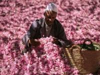 In Marocco, soave profumo della rosa del Dadès