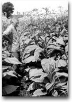 Tonga In una piantagione di tabacco, Tonga 1969