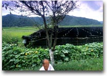Piantagioni di ginseng a Kumsan