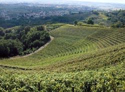 I vitigni di Savorgnano del Torre