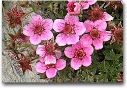 Potentilla, rosa del Triglav