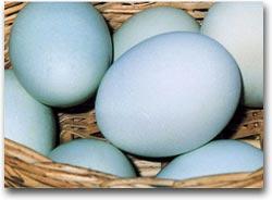 Terra Madre Le uova azzure cilene