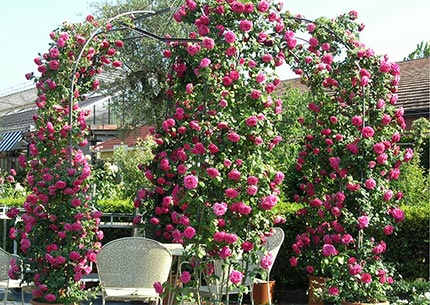 Country Rose, allestimento