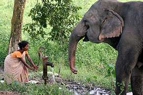 IndiaUn elefante assetato nel Parco nazionale di Kaziranga