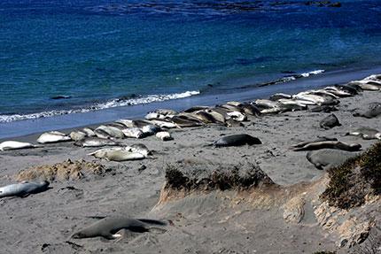 Monterey Point Piedras Blancas, la spiaggia degli elefanti marini
