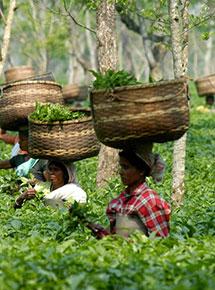 Assam, raccoglitrici di foglie di tè