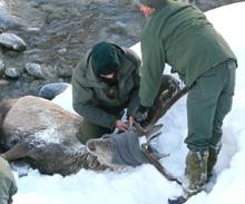 Salvato un cervo in Val Chisone