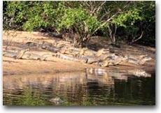 Ovunque colonie di caimani