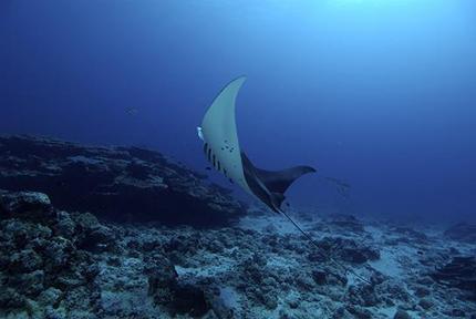 Una manta danza nel mare delle Laccadive