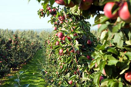 Le mele di Kivik. Credits: Miriam Preis/imagebank.sweden.se