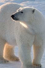 Gli orsi polari potrebbero scomparire entro la fine di questo secolo