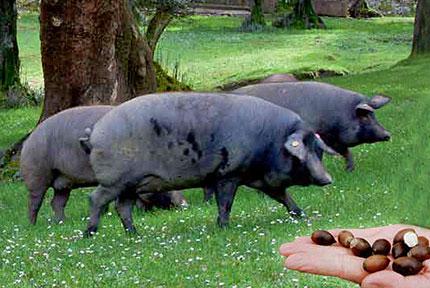 Cerdo al pascolo