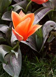 Festival del tulipano