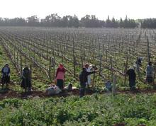 Raccoglitori di uva tra i filari di una vigna locale