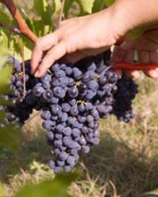 Cantina Castello di Corbara, vendemmia. Foto: Movimento Turismo del vino