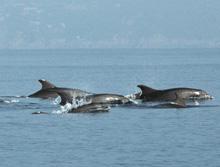 Un gruppo di Tursiopi davanti a Portofino