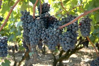 Salento uva negroamaro