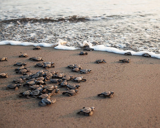 tartarughe marine appena nate mondointasca