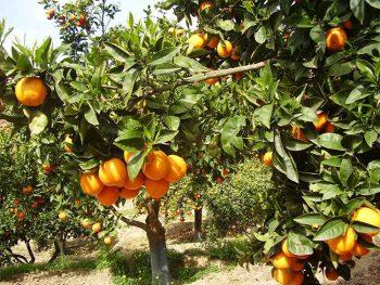 Kolymbetra giardino-della-kolymbetra-aranceto fai
