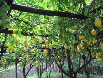 Costiera alalfi-limoni