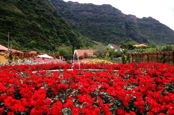 Madeira Un-roseto-di-Madeira