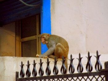 Vrindavana Le-scimmie-sono-di-casa