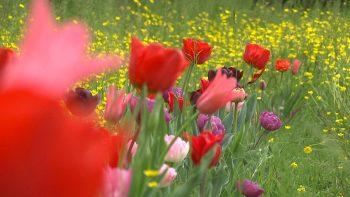 Primavera villa-Pisani-Vescovana-Tulipani