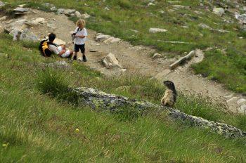 Gran Paradiso marmotta