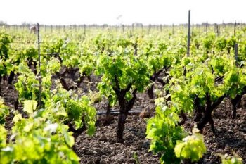 Città del vino Ciro-vitigno