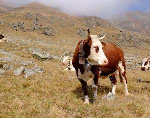 La Val Sangone festeggia il Cevrin di Coazze