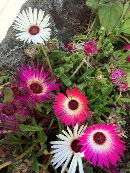 Natura Islanda-fiorita