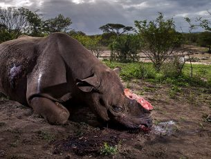 Memorial to a species, © Brent Stirton Wildlife Photographer of the Year